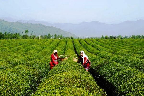 LAHINJAN – tea gardens IRAN
